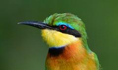 Little Bee-eater (Merops pusillus) (Ian N. White) Tags: botswana chobe littlebeeeater meropspusillus