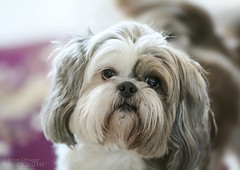My Shih Tzu (Jenny Onsager) Tags: pets dogs canon shihtzu smalldogs mygearandme mygearandmepremium mygearandmebronze mygearandmesilver mygearandmegold whetdogs jennyonsager