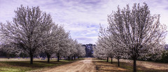 Spring Is In The Air (MissShots) Tags: road blue trees sky clouds path trunk limbs blooms