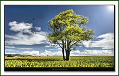 Emu vale. (agphoto100) Tags: blue sky sun tree leaves birds clouds photoshop farm farming farmland crop crows nex sorgum