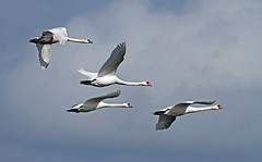 .Swan - Elmley (bat101/John Whitting) Tags: muteswan elmleymarshes elmleynnr
