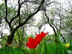 Why should I (Mattijsje) Tags: red holland green netherlands grass spring bomen pears tulips air nederland orchard boom lente rood bloesem boomgaard bloemen tulipa bloem tulp varik perenbomen perenboomgaard