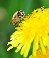 noshing time (lyquidpurple) Tags: italy sun green nature animals yellow garden photography photo spring nikon italia bee honey anima tamron honeybee piacenza noshing d5000