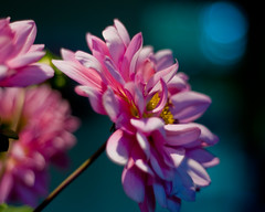 www.durmaplay.com_Oyun_Wallpaper_1246.jpg (http://www.durmaplay.com) Tags: pink dahlia flowers flower fall nature beautiful beauty newjersey nikon october purple bokeh nj 2008 dahlias mercercounty d300 nosha hbw natureycrap bokehdots october2008 httpswwwdurmaplaycom