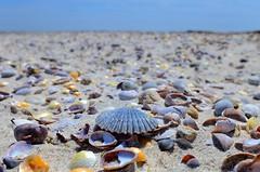 Scallop. (DigitalCanvas72) Tags: ocean sea shells color nature water barn seashells point sand chair rocks sunny down run longisland orient 24mm28d nikkor24mm28d nikond7000 orientbeachny