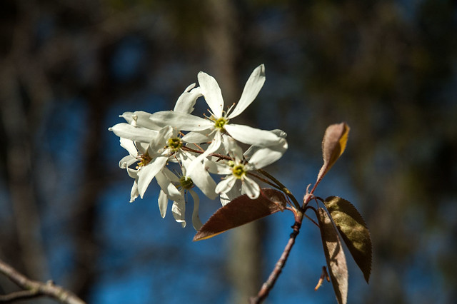 Cedar Bluffs Nature Preserve - Serviceberry - April 19, 2014