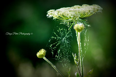 Cobweb (Terezaki ✈) Tags: travel light white macro green nature closeup photography photo spring nikon day searchthebest d70 bokeh details spiderweb athens cobweb greece tamron daucuscarota pictureperfect naturesfinest wildcarrot ncg 150favs 100fav 100favs 150faves anawesomeshot flickrdiamond theperfectphotographer natureselegantshots