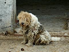 Perroveja, mezcla de perro y oveja. (dlmanrg) Tags: espaa perro oveja cantabria cadena