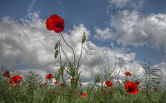 Poppy (carper123) Tags: nature landscape meadows poppy poppies fields