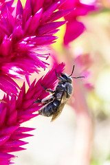 Native pollinator (ImaginingsLifeImages) Tags: nature animal animals rural wildlife newengland australia places bee nsw armidale pollination hymenoptera megachilidae megachile apocrita apoidea uralla nativebee orderhymenoptera otherkeywords megachilinae