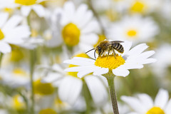 Colletes similis (Richard Becker Photography) Tags: flowers france insect bees insects bee colletes