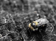 Just a Tiny Little Bee (Erin Feakes) Tags: blackandwhite macro cute nature yellow closeup bees bee sortof