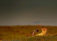 Amani at Sunset (markrellison) Tags: africa wild cat kenya wildlife 300mm bigcat cheetah amani masai lightroom f40 masaimara wildanimals redeyes eastafrica acinonyxjubatus iso1000 11250sec ef300mmf28lisusm lrcc canoneos5dmarkiii lightroomcc