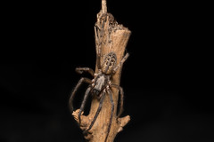 Segestria bavarica (xilixir) Tags: arachnid spider spiders spin sp macro macrodreams macrolife macroworld macros micro macroconverter nikonporn nikon nikkor nikonusers natureupclose natureloversgallery dx dichtbij d3300 dxcamera araneomorphae segestria segestriidae bavarica 6 eyed