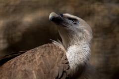 Griffon vulture (bienve958) Tags: griffonvulture gypsfulvus buitrecomún aves carroñero birds voltorcomú saariysqualitypictures portrait animal