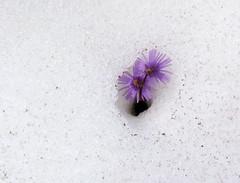Soldanella nella neve (giorgiorodano46) Tags: giugno2010 june 2010 giorgiorodano soldanella neve snow malatra valdaosta valferret valléedaoste flower flowerwithsnow