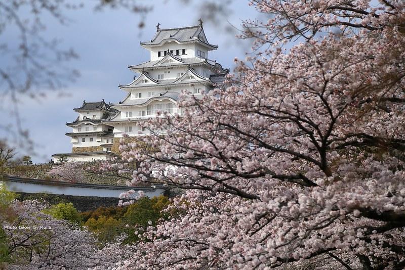 姬路城與櫻花的粉色美景
