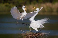 Shift Change (gseloff) Tags: greategret bird flight bif nest mating smithoaksrookery highisland texas gseloff