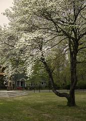 DSCF2383 conway (snolic...linda) Tags: arkansas 501 fujixt2 conwayarkansas dogwoodtree spring