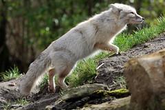 Steppevos (K.Verhulst) Tags: steppevos corsacfox vos fox beeksebergen safaripark safariparkbeeksebergen hilvarenbeek tilburg