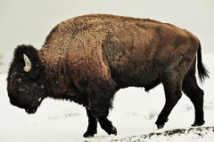 Male Bison (Bison bison) In Yellowstone (Susan Roehl) Tags: yellowstoneinwinter2017 yellowstonenationalpark wyoming usa americanbison bisonbison nationalmammaloftheusa alsocalledbuffalo foundingrasslands oneofthelargestbovids oncealmostextinct sueroehl photographictours naturalexposures lumixdmcgh4 100400mmlens handheld takenfromroad male outdoors mammal animal ngc