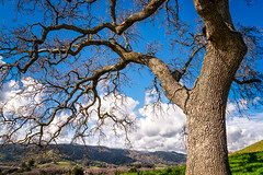 California Oak Tree (Stefan Schafer) Tags: landscape sky tree vacaville california oak californiaoak sunny clouds hills horizon branch trunk wood nature lagoonvalleypark penaadobepark regionalpark