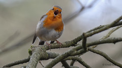 Ich sing ein Lied für dich (Oerliuschi) Tags: rotkehlchen singvogel gesang offenerschnabel federn ast natur nahaufnahme leicadg100400 panasonic lumixgx8 vögel birds robin wildlife
