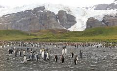 Gold Harbour King Penguins (Med Gull) Tags: antarctic southgeorgia zegrahm