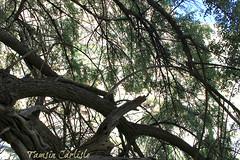 Pomegranate Tree (tinlight7) Tags: tree wadinakhar oman pomegranate taxonomy:kingdom=plantae plantae taxonomy:clade=tracheophyta tracheophyta taxonomy:phylum=magnoliophyta magnoliophyta taxonomy:class=magnoliopsida magnoliopsida taxonomy:order=myrtales myrtales taxonomy:family=lythraceae lythraceae taxonomy:genus=punica punica taxonomy:species=granatum taxonomy:binomial=punicagranatum granatapfel רימוןמצוי magraner punicagranatum granadacordelina tsapyan delima romãzeira гранатобыкновенный гранатзвычайны 安石榴 nocuanazehacastilla انار taxonomy:common=granatapfel taxonomy:common=רימוןמצוי taxonomy:common=magraner taxonomy:common=pomegranate taxonomy:common=granadacordelina taxonomy:common=tsapyan taxonomy:common=delima taxonomy:common=romãzeira taxonomy:common=гранатобыкновенный taxonomy:common=гранатзвычайны taxonomy:common=安石榴 taxonomy:common=nocuanazehacastilla taxonomy:common=انار