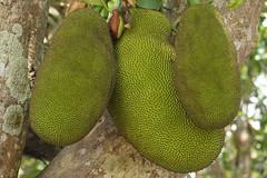 The Hanging Trio (ananemsis) Tags: jackfruit thaifruit hangingfruit fruittree chiangraithailand chiangrai northernthailand thailand southeastasia thehangingtrio