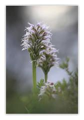 Orquis Conica... (Vicensalamas) Tags: orquideas primavera color macro campo suaves conicas