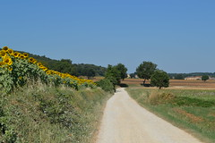 Sunflowers (monicamalfatti) Tags: viafrancigena green nature landscape tree trekking toscana tuscany italia italy italien photography passion beauty love fullimmersion ngc