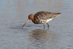 Black tailed godwit..? (Shane Jones) Tags: blacktailedgodwit godwit wader bird nature wildlife nikon d500 200400vr tc14eii