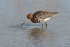 Black tailed godwit..? (Shane Jones) Tags: blacktailedgodwit godwit wader bird nature wildlife nikon d500 200400vr tc14eii