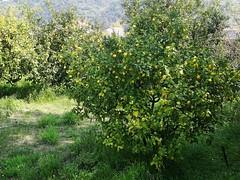 Limone in campagna (mareblu2013) Tags: limone albero frutta agrumi campagna giallo verde flora