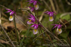 """Fairy Slipper • <a style=""""font-size:0.8em;"""" href=""""http://www.flickr.com/photos/63501323@N07/8757140573/"""" target=""""_blank"""">View on Flickr</a>"""