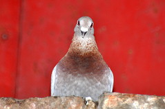 Gobek (ruchomor) Tags: red bird pidgeon gob redeyes