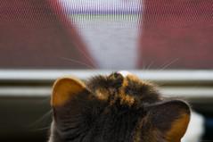 DSC_4800.jpg (Our Poopy Pants) Tags: hairy pet cats cat fur furry kat feline chat kitty whiskers gato kitties meow katze paws puss kot gat koka kass katt kato kissa maka paka  furballs katu conmo  catspussy