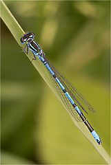 Azure damselfly (Mister Oy) Tags: macro nature bug insect close dragonfly wildlife azure wetlands threesisters damselfly davegreen odonata sigma105mmf28macro nikond800 oyphotos