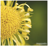 036 (imagepoetry) Tags: summer flower macro green nature yellow garden blossom sigma 70mm a65 imagepoetry sonyalpha