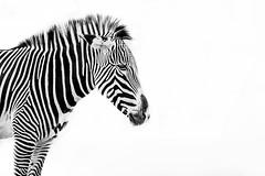 Zebra (Justin Lo Photography) Tags: life portrait horses horse toronto ontario canada nature animal animals zoo stripes wildlife whitebackground zebra highkey torontozoo whitestripes zebras zooanimals