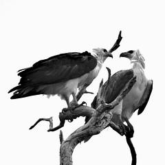 sea eagles (Mariasme) Tags: birds wildlife frombelow highkey interaction kakadunp yellowwaterbillabong thetopend 15challengeswinner couldbeanadvertisement gamex2winner gamesweepwinner gamex3sweepwinner favescontestfavored