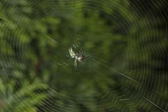 Spider eating series 21 (Richard Ricciardi) Tags: spider eating web spinne araa  araigne ragno timeseries     gagamba    nhn  spidertimeseries