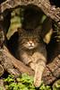 Wilde Kat (Felis silvestris) (annelienvdheide) Tags: cats pentax wildcat tamron70300mm wildekat anholterschweiz pentaxk100d biotopwildpark