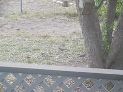 dirty birds (dardilrocks) Tags: home texas sparrows frontyard doves beeville wildbirds beecounty feedingcleaning