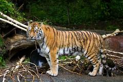tiger (Cloudtail) Tags: animal cat mammal zoo tiger zurich bigcat katze zrich tigris tier amur panthera raubkatze sugetier sibirischer groskatze
