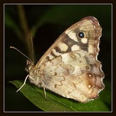 Vlinder (RSvB) Tags: juli tuin vlinder bontzandoogje