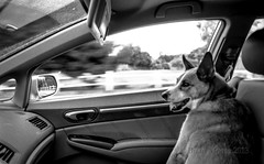 Buckle Up Girlie! (brian-moore) Tags: california blackandwhite dog film analog 35mm kodak fd28mm availablelight sadie handheld southerncalifornia rodinal huntingtonbeach 400asa fd selfdeveloped canonf1 fpp fdlens brianmoore rpf r09oneshot filmphotographypodcast filmphotographyproject realphotographersforum myglassiblogspotcom