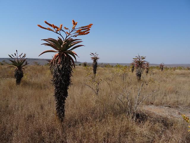 Aloe marlothii - landscape