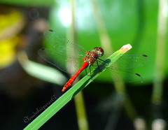 The red dragonfly of courage (Cloudwhisperer67) Tags: red summer lake black france flower color macro green art love nature water colors beautiful gardens closeup automne bug insect fun rouge photography wings colorful europa europe flickr gallery shot natural little dragonfly bokeh shots sony great wing award cybershot august bugs strasbourg alsace tiny demoiselle lovely common t raphael visitor damselfly insecte damselflies libellule courage aot naturelle damsel raphal naturel damselfy 2013 flickraward flickrawardgallery hx9v dschx9v cloudwhisperer67